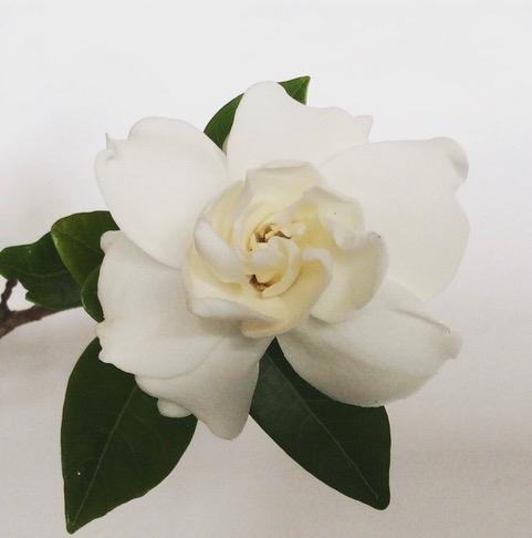 Garndenia flower